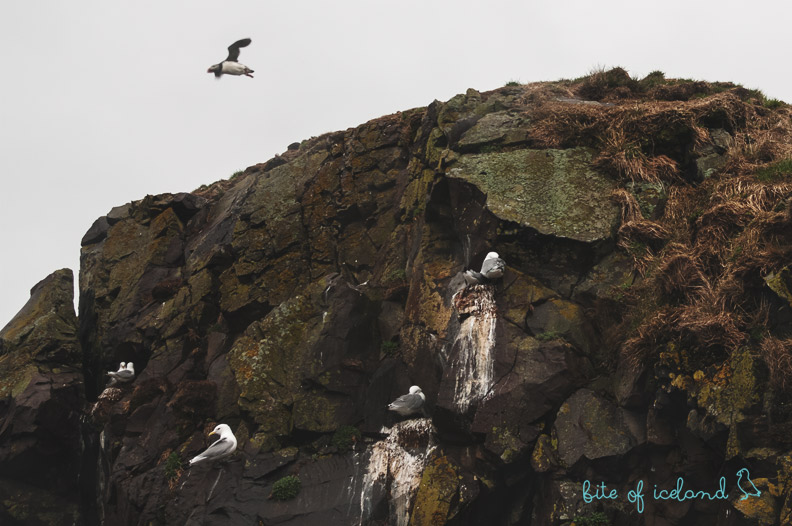 Flying puffin, Borgarfjordur, Iceland