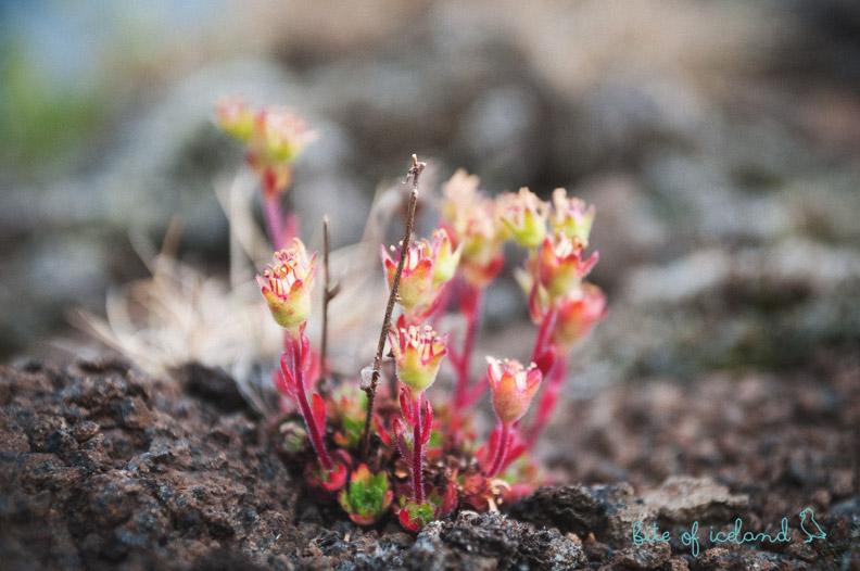 Holmanes peninsula plant