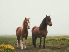 "<span class=""quo"">'</span>Don't call me pony!' – Icelandic horses"