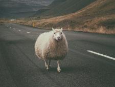 Sheep, Ram andLamb