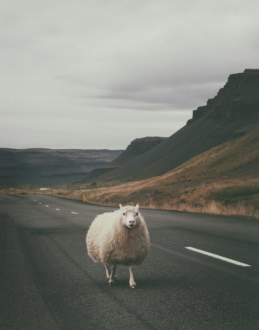 Bez owiec nie ma Islandii. Z tym stwierdzeniem z pewnością zgodzi się każdy Islandczyk. W dzisiejszym poście wszystko o owcach, baranach i baraninie.