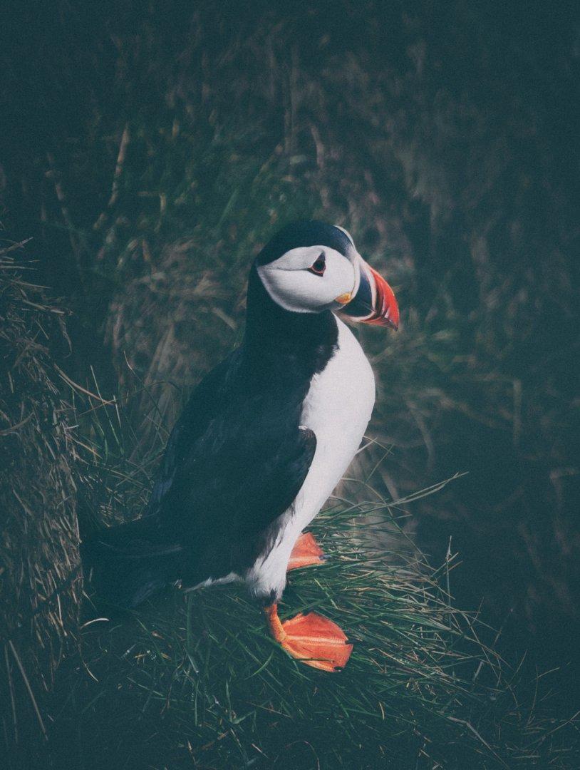Westman Islands Vestmannaeyjar Heimaey Puffin