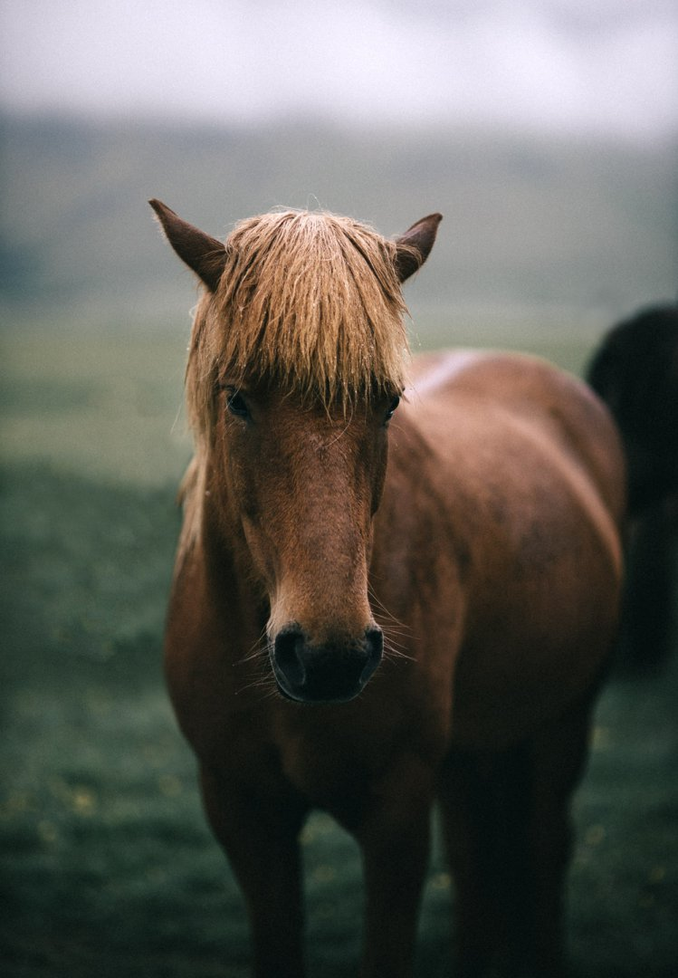 East Fjords Iceland Icelandic horse