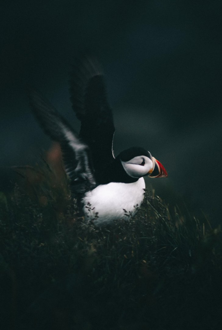 East Iceland puffin