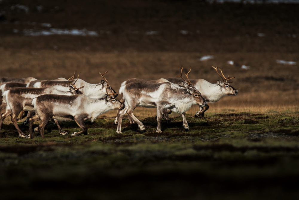 Iceland top attractions reindeer
