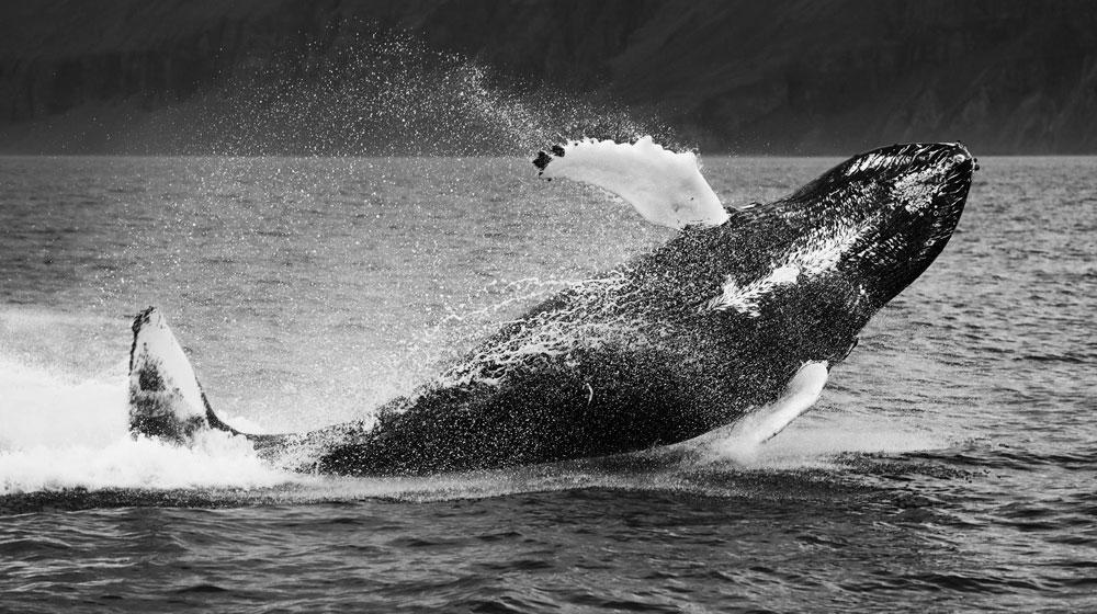 Islandia atrakcje wieloryby
