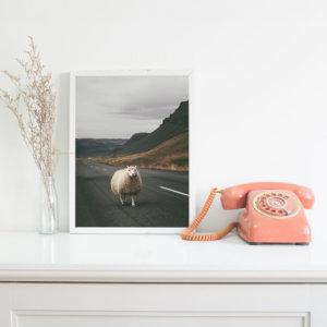 Plakat na ścianę do sypialni lub salonu w stylu skandynawskim przedstawiający islandzką owcę na środku drogi. Do wyboru: plakat 50x70 i plakat 30x40. Zobacz nasze skandynawskie dekoracje na ścianę. Odwiedź nasz skandynawski sklep internetowy z plakatami!