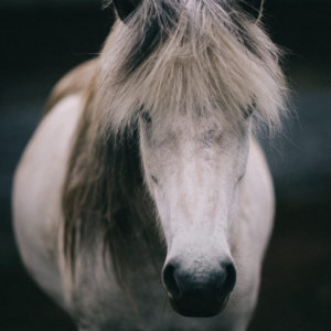 Icelandic horse print - portrait of a beautiful white horse. Check out horse wall art by Adam Biernat at Bite of Iceland.