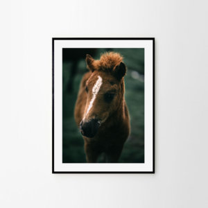 Icelandic horse print - portrait of a beautiful Icelandic foal. Check out finest quality horse wall art by Adam Biernat at Bite of Iceland.