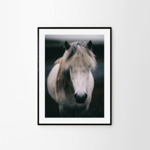 White horse print - portrait of a beautiful Icelandic horse. Check out horse wall decor by Adam Biernat at Bite of Iceland.