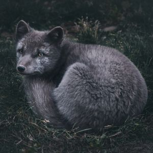 Arctic fox print - Scandinavian art by Adam Biernat.