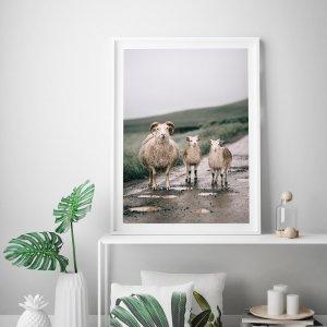 Plakat skandynawski przedstawiający urocze islandzkie owce. Zobacz ten i inne plakaty w naszym skandynawskim sklepie z plakatami.