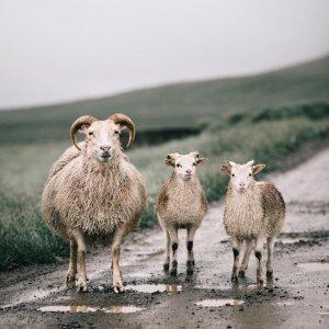 Plakat skandynawski na ścianę do salonu przedstawiający urocze islandzkie owce. Zobacz ten i inne plakaty w naszym skandynawskim sklepie z plakatami.