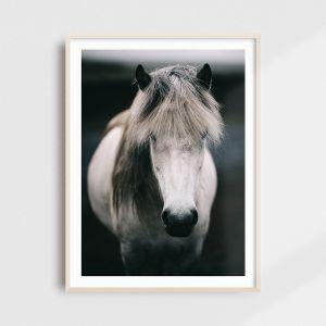 Plakat skandynawski - islandzki biały koń. Fotografia kolekcjonerska - Adam Biernat.