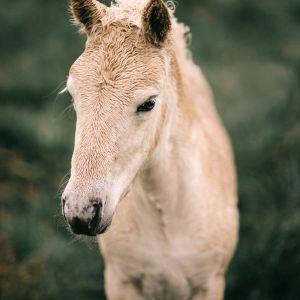 Plakat skandynawski - islandzki koń. Fotografia kolekcjonerska - Adam Biernat.