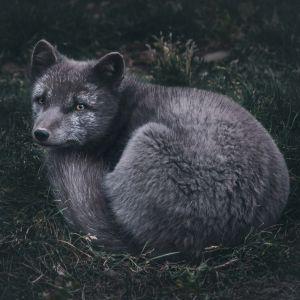 Plakat skandynawski - lis polarny. Fotografia kolekcjonerska - Adam Biernat.
