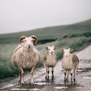 Scandinavian print of charming Icelandic sheep. Check out our Scandinavian prints, and wall art!