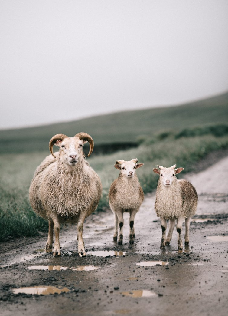 Icelandic Sheep Gang